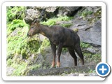 GHORAL WILD GOAT